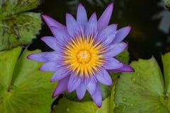 Lotus morgon i natur Royaltyfria Bilder