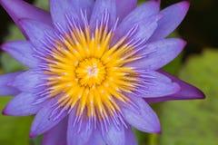Lotus morgon i natur Royaltyfria Foton