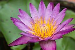 Lotus morgon i natur Arkivbild