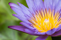 Lotus morgon i natur Arkivfoto