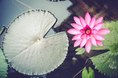 Lotus. In the morning sunlight Royalty Free Stock Photos