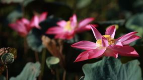 Lotus Moving in langzaam windt stock footage
