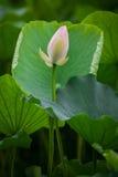 Lotus mud Royalty Free Stock Photo