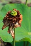 Lotus muerto Fotos de archivo
