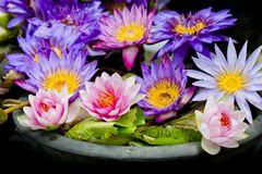 Lotus multicolored. Many colorful lotus flowers in earthen basin Royalty Free Stock Photo