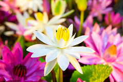 Lotus multicolour. Multi-colored lotus at the tree shop stock images