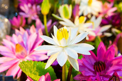 Lotus multicolour. Multi-colored lotus at the tree shop royalty free stock photo