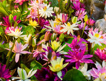 Lotus multicolour. Multi-colored lotus at the tree shop stock image