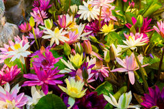 Lotus multicolour. Multi-colored lotus at the tree shop stock photo