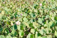 Lotus mycket vidsträckt fält Royaltyfria Bilder
