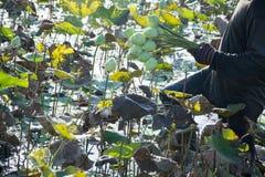 Lotus mycket vidsträckt fält Royaltyfri Foto