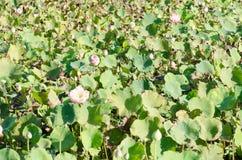 Lotus mycket vidsträckt fält Royaltyfri Bild