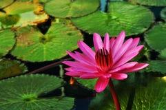 Lotus näckros Royaltyfri Foto