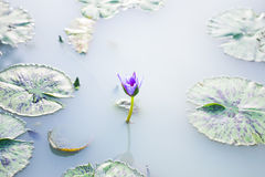 Lotus na água Fotos de Stock Royalty Free