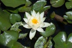 Lotus na água imagem de stock royalty free