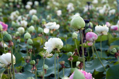 Lotus na naturalnym tle od Tajlandia Zdjęcie Stock