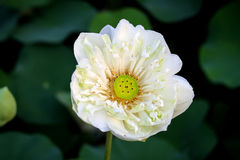 Lotus na naturalnym tle od Tajlandia Fotografia Royalty Free