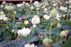 Lotus na naturalnym tle od Tajlandia Obrazy Royalty Free