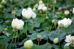 Lotus na naturalnym tle od Tajlandia Zdjęcia Royalty Free