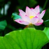 Lotus na regen royalty-vrije stock fotografie