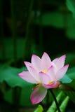 Lotus na regen Royalty-vrije Stock Afbeelding