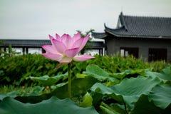 Lotus nach Regen lizenzfreies stockbild