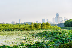 Lotus and Nanjin city Royalty Free Stock Images