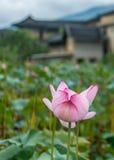 The lotus in Nanjing of FUjian Stock Photography