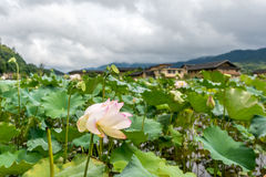 The lotus in Nanjing of FUjian Royalty Free Stock Photography
