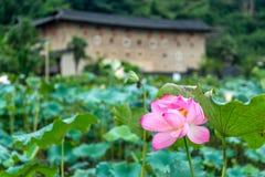 The lotus in Nanjing of FUjian Royalty Free Stock Photos