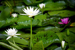 Lotus on natural background from Thailand Stock Photo