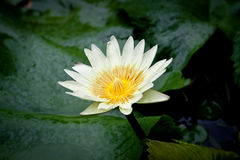 Lotus on natural background from Thailand. Lotus, a beautiful flower that has a good meaning about Buddhism, on natural background from the northern Thailand royalty free stock photography