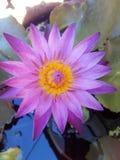 The lotus. Nature beautiful purple yellow Stock Image