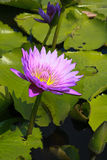 Lotus in nature Stock Photo