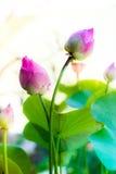 Lotus. Nature of twin lotus is beautiful royalty free stock image