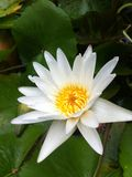 Lotus. Nature White  Yellow stamens Royalty Free Stock Images