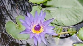 Lotus in natureb stock video