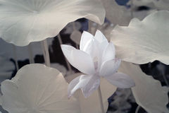 Lotus (naukowy imię: Nelumbo nucifera) Fotografia Royalty Free
