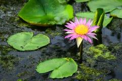 Lotus nella luce del giorno Fotografia Stock