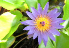 Lotus nello stagno al giardino Fotografia Stock