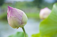 Lotus. Royalty Free Stock Photography