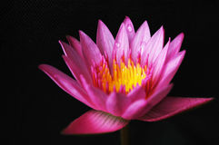 Lotus. Nelumbo nucifera, known by a number of names including Indian lotus, sacred lotus, bean of India, or simply lotus, is one of two species of aquatic plant Stock Image