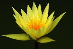 Lotus at night. The yellow single lotus at night Stock Photos