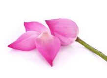 Lotus no backround branco Imagens de Stock Royalty Free