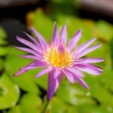 Lotus no frasco Fotografia de Stock