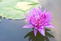 Lotus no jardim Imagens de Stock Royalty Free