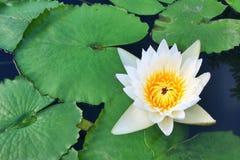 Lotus no jardim Foto de Stock Royalty Free