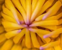 Lotus no pólen próximo Fotos de Stock Royalty Free