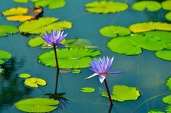 Lírio de água de flutuação Fotografia de Stock