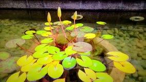 Lotus nunca seca imagem de stock royalty free